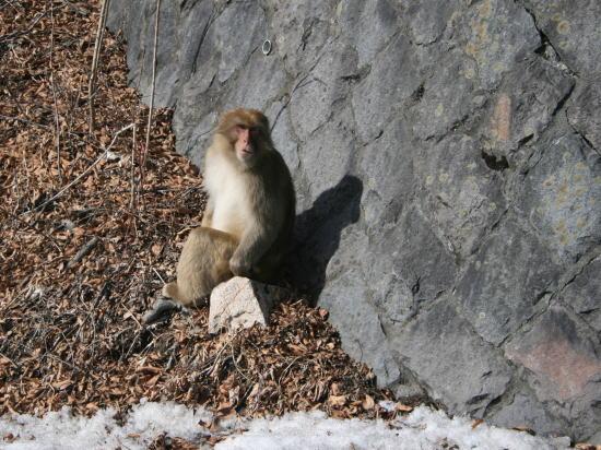 20,2,2 サル いろは坂のひなたぼっこb.jpg