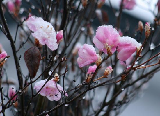 20,4,1 ヤシオに雪1b.jpg