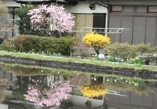20,4,17 ヤシオとレンギョウ水鏡1b.jpg
