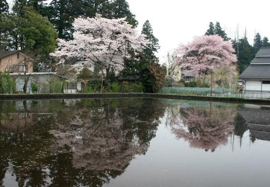 20,4,17 桜2本水鏡1b.jpg