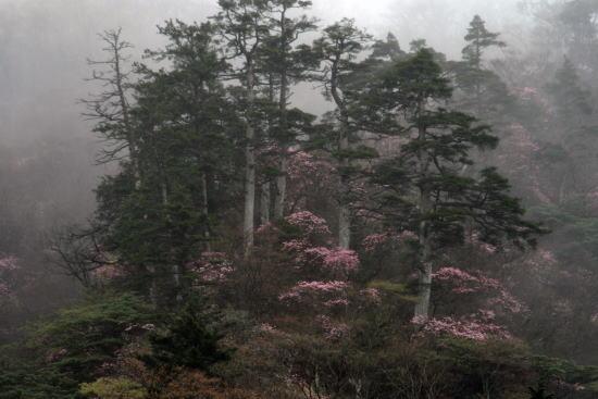 20,5,3 霧の月山のヤシオと5本松1b.jpg