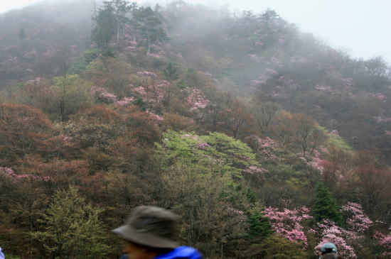 20,5,3 霧の月山のヤシオ4b.jpg