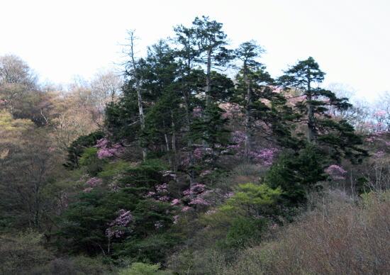 20,5,4 月山のヤシオと5本松1b.jpg