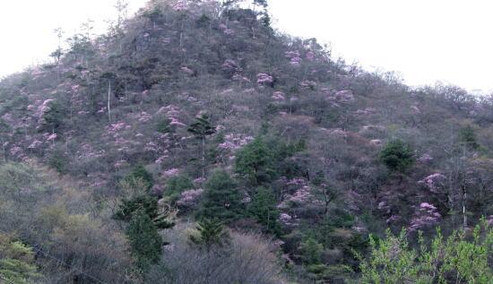20,5,4 月山のヤシオ4b.jpg