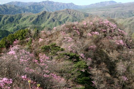 20,5,4 隣の山のヤシオ1b.jpg