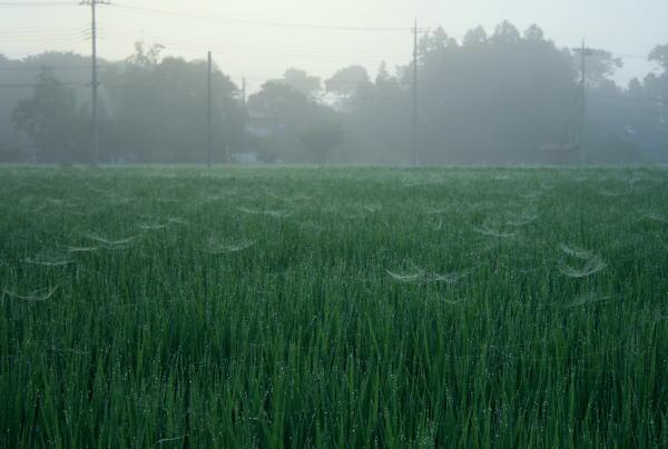 20,7,25 水田のクモの巣1b.jpg