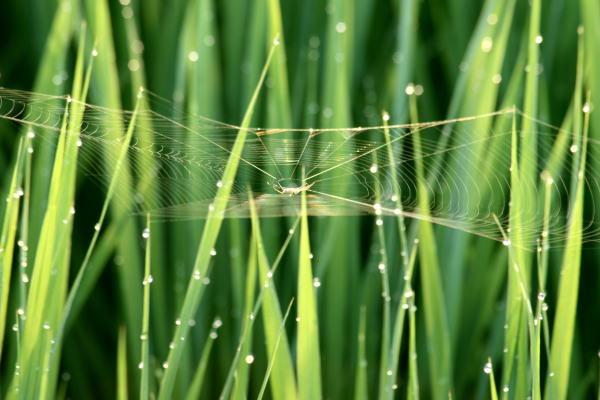20,7,30 水田のクモの巣2b.jpg