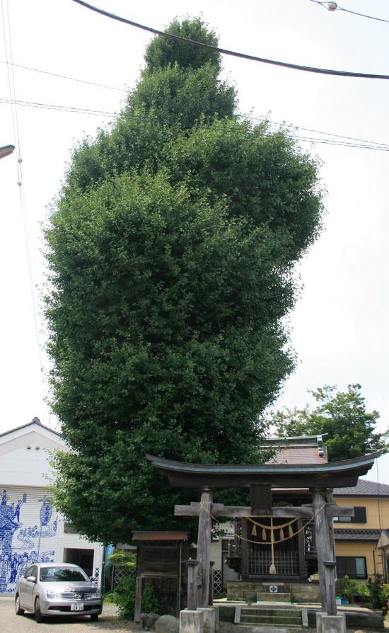 20,8,3 十二社神社のイチョウノキ6b.jpg