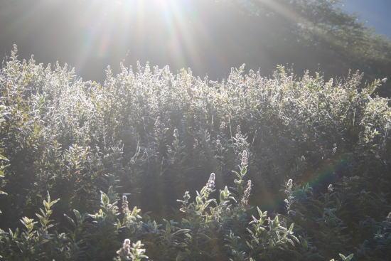 20,9,11 ホザキシモツケの枯れ穂の霜と虹b.jpg