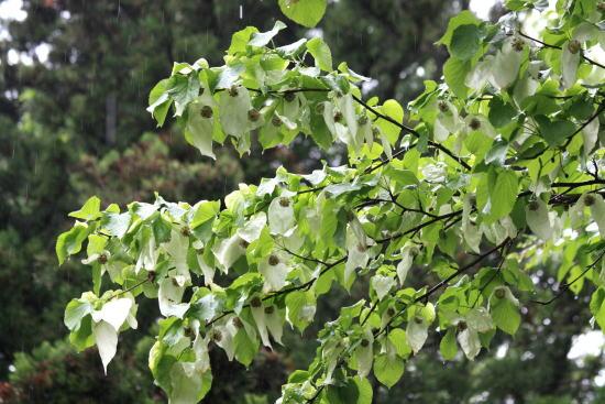 21,5,17 ハンカチの木 1-1b.jpg