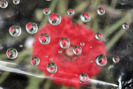 21,7,5 ポピー(赤)と水滴1-2b.jpg