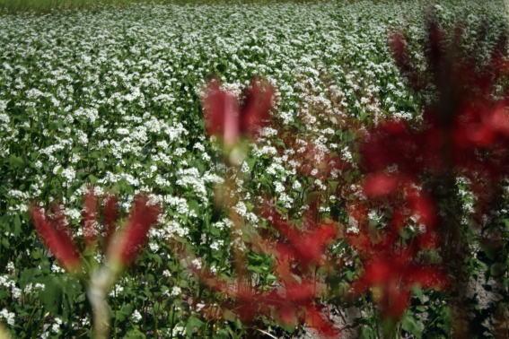 21,9,13 ヒガンバナとソバの花1-2b.jpg