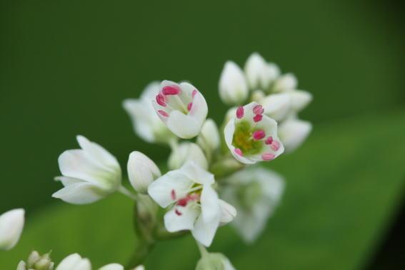 21,9,15 雫の中のソバの花1-4b.jpg