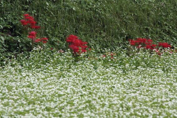 21,9,17ソバの花とヒガンバナ3-9b.jpg