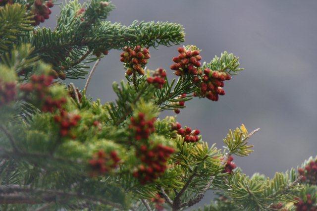 22,5,19 赤い実の針葉樹1-1.jpg