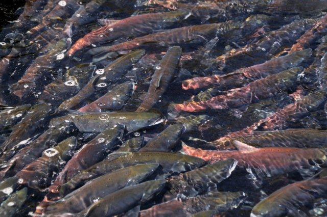 24,9,26 ヒメマス漁2-7.jpg