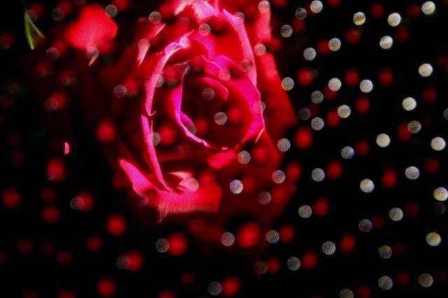 25,7,10 滴のバラ3-1.jpg