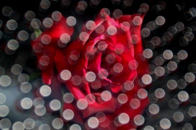 25,7,10 滴のバラ3-7.jpg