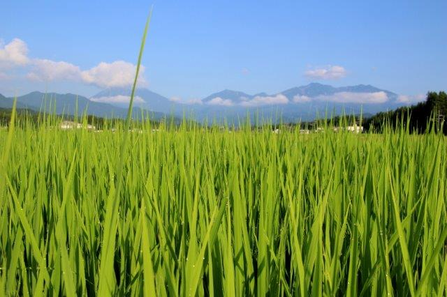 25,8,4 稲の汗と連山2-5.jpg
