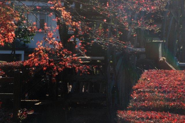 26,11,16 杉並木公園の紅葉1-4.jpg
