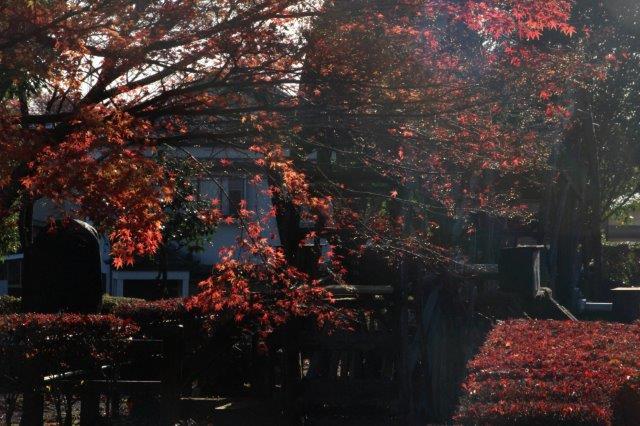 26,11,16 杉並木公園の紅葉1-6.jpg