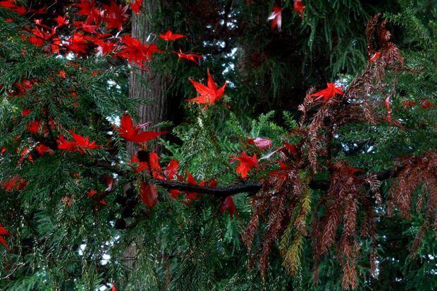 28,11,20 杉の木の赤い花1-1b.jpg