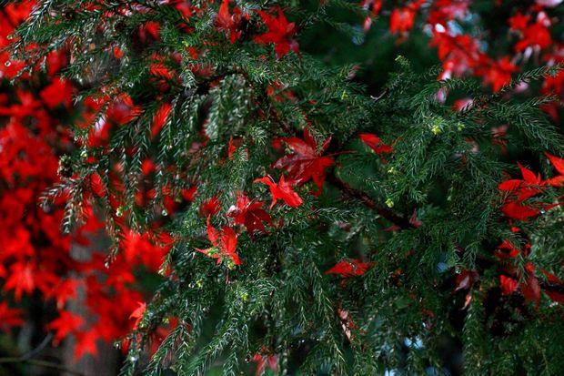 28,11,20 杉の木の赤い花1-2b.jpg