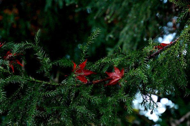 28,11,20 杉の木の赤い花1-3b.jpg