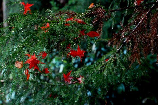 28,11,20 杉の木の赤い花1-4b.jpg