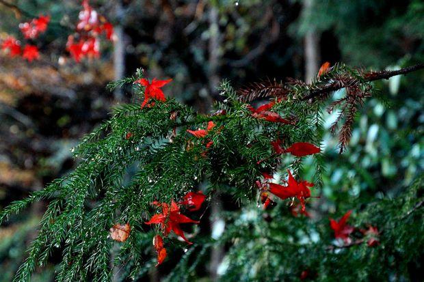 28,11,20 杉の木の赤い花1-6b.jpg