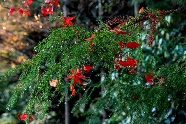 28,11,20 杉の木の赤い花1-9b.jpg