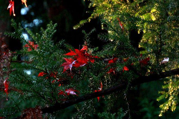 28,11,20 杉の木の赤い花2-1b.jpg