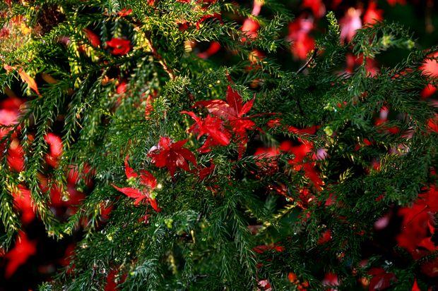 28,11,20 杉の木の赤い花2-2b.jpg