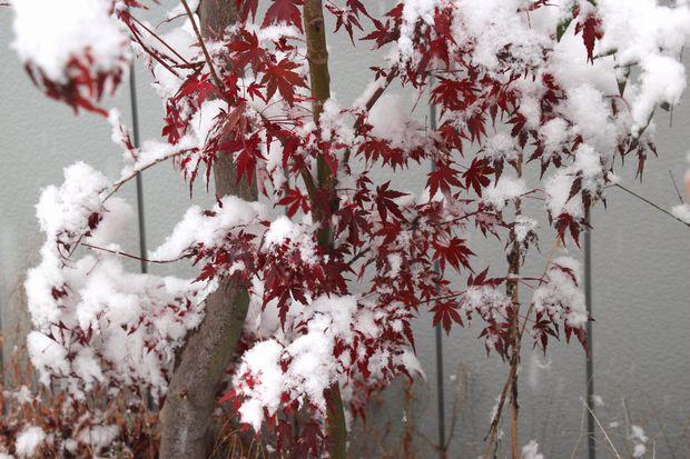 28,11,24初雪とモミジ1-1b.jpg