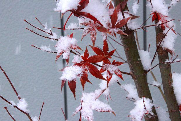 28,11,24初雪とモミジ1-4b.jpg