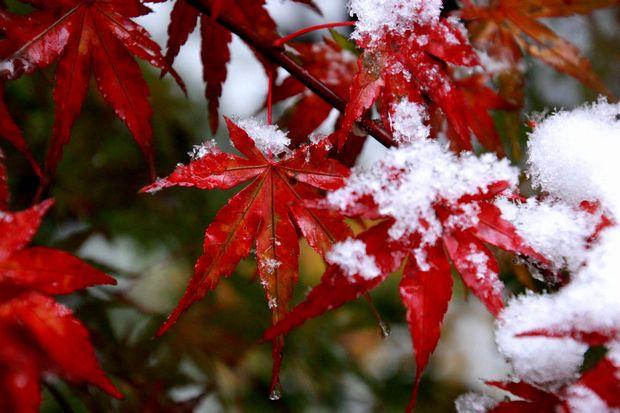 28,11,24初雪とモミジ3-7b.jpg