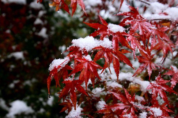 28,11,24初雪とモミジ5-9b.jpg