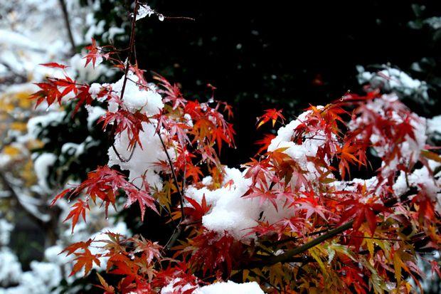 28,11,24初雪とモミジ6-b.jpg