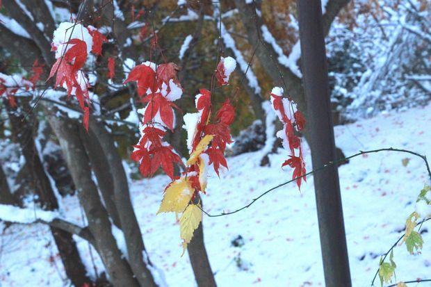 28,11,25 モミジに雪2-4b.jpg