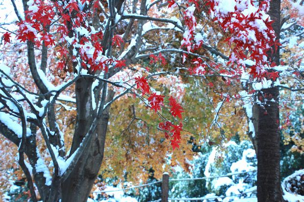 28,11,25 モミジに雪3-3b.jpg