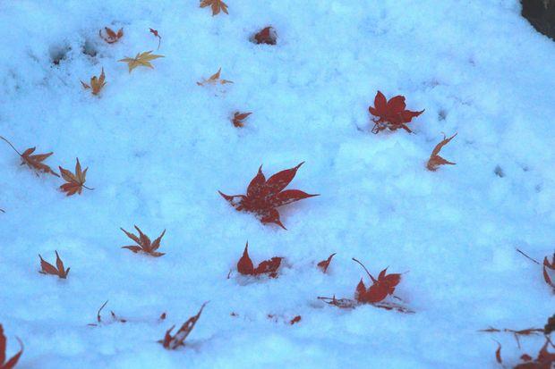 28,11,25 モミジに雪3-5b.jpg
