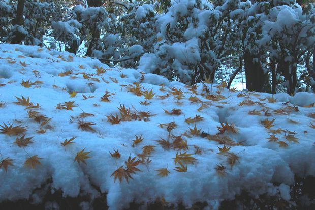 28,11,25 モミジに雪3-6b.jpg