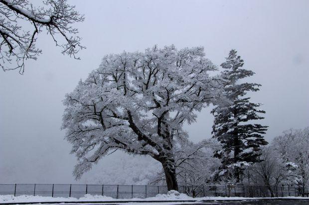 28,3,12 華厳のハルニレの霧氷1-1b.jpg