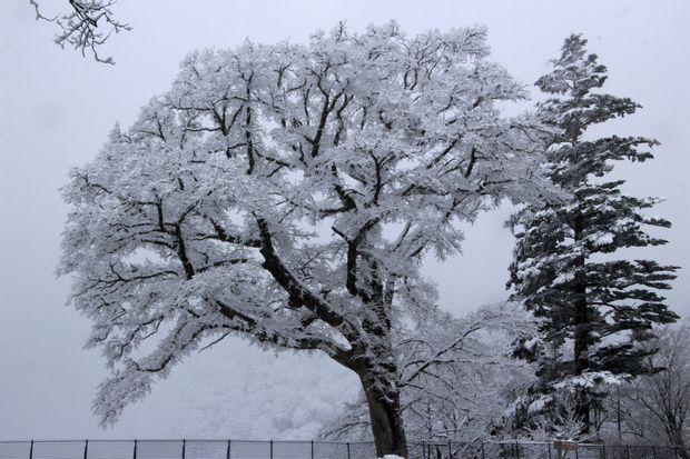 28,3,12 華厳のハルニレの霧氷1-2b.jpg