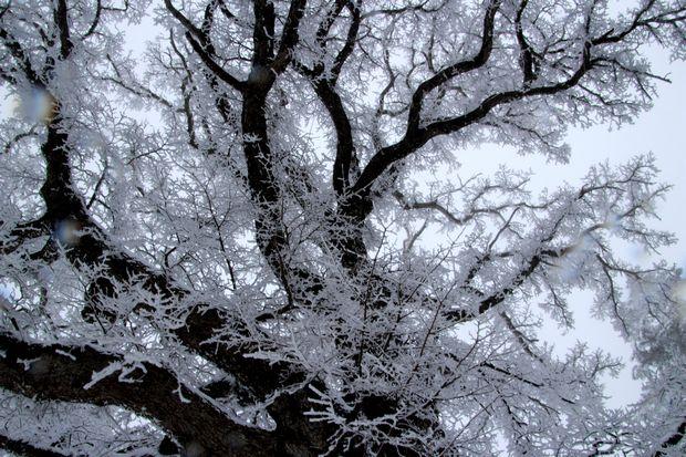 28,3,12 華厳のハルニレの霧氷1-4b.jpg