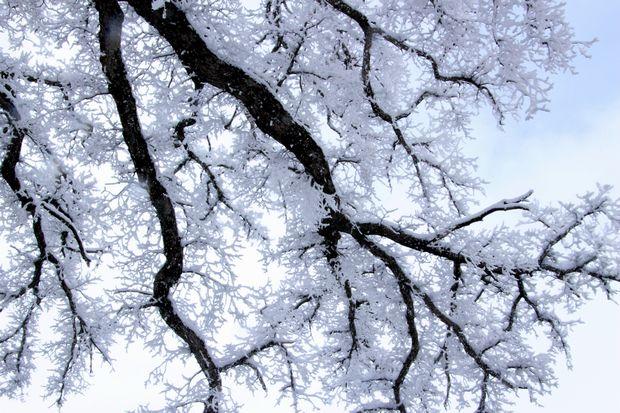 28,3,12 華厳のハルニレの霧氷2-8b.jpg