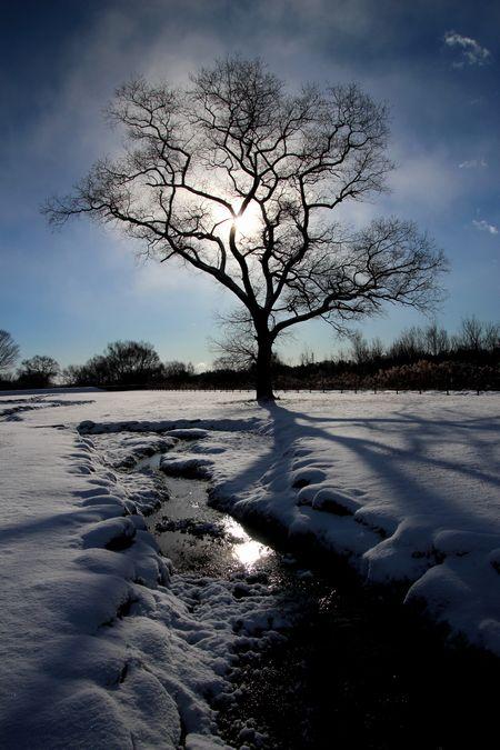 29,1,15 大木と日の出2-1b.jpg