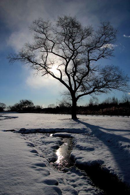 29,1,15 大木と日の出2-5b.jpg