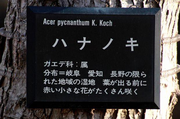 29,4,13 ハナノキ3-3b.jpg