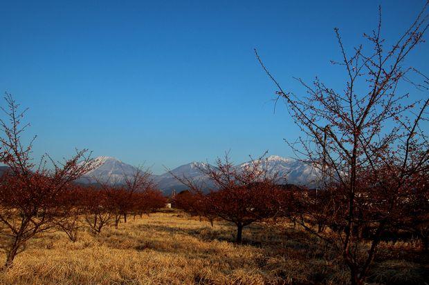 29,4,3 雪の連山 河津ザクラ2-3b.jpg